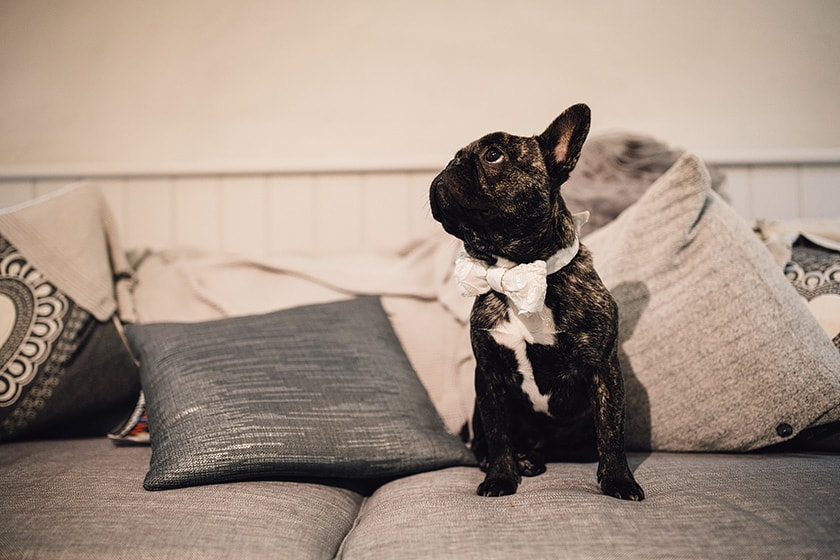 french bulldog in dickie bow